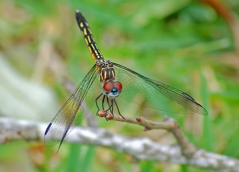 Groovy Dragonfly